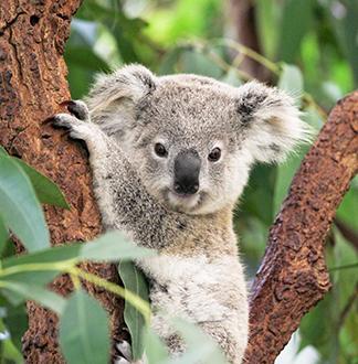 호주 브리즈번 론 파인 코알라 보호 구역 입장권