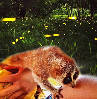코타키나발루 멈바꿋 반딧불 투어 (픽업/샌딩/공항샌딩 포함)
